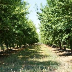 Mandelbaum-Plantage