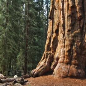 Sequoias zu gross für ein Bild