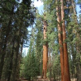 Grösster Baum der Welt (hinten)
